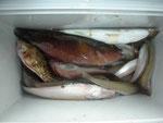 5月27日 ボート釣りで松永さん キス ガラカブ ベラ グチ (全35匹)