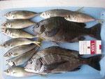 5月14日 磯釣りで陣内さん メイタ36㎝ 良型クロ31.4㎝を頭に6匹 アジ20㎝前後9匹