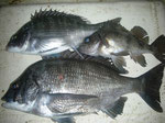 4月4日 磯釣りで二子石さん チヌ、メイタ、メバル
