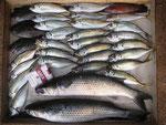 5月20日 磯釣りで福島さん アジ25㎝を頭に27匹 ボラ50㎝・48㎝