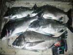 4月2日 磯釣りで西島さん チヌ43㎝を頭に5匹