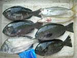 8月31日 磯釣りで野地さん メイタ28㎝ クロ25.5㎝を頭に4匹 アジ・キス24㎝