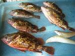 7月14日 ボート釣りで江崎さん ガラカブ24㎝を頭に6匹 キス2匹