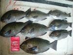 7月17日 磯釣りで荒井さん クロ30㎝を頭に8匹