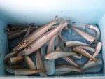 7月5日 ボート釣りで右田さん マゴチ35㎝ ヒラメ26㎝ キス24㎝を頭に9匹