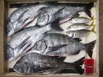 5月21日 磯釣りで梅井さん 良型チヌ49㎝~42㎝・5枚 アジ23㎝前後3匹