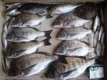 8月11日 ダゴチン釣りで増田さん チヌ36㎝を頭に8匹 アジゴ13㎝前後20匹 クロ・カワハギ1匹づつ
