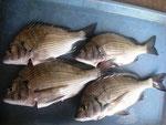 8月8日 磯釣りで犬童さん メイタ30㎝前後を4匹