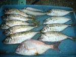 7月2日 サビキ釣りで新田さん アジ24㎝を頭に9匹 キス2匹 タイ1匹