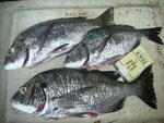 8月29日 ダゴチン釣りで髙浪さん チヌ40㎝を頭に3匹
