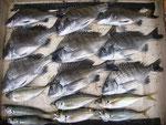 4月24日 ダゴチン釣りで鍬先さん メイタ25㎝前後9匹・アジ7匹