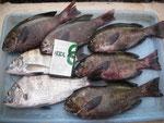 8月7日 磯釣りで小林さん メイタ28㎝を頭み2匹 クロ27㎝を頭に5匹