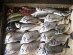 8月1日 ダゴチン釣りで川口さん メイタ30㎝を頭に11匹 アジ24㎝前後3匹