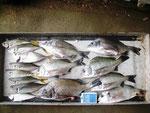 7月7日 ダゴチン釣りで増田さん チヌ35㎝~25㎝を7匹 アジ 25㎝~20㎝を8匹