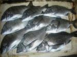 4月4日 ダゴチン釣りで西山さん チヌ、メイタ9匹