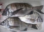 4月3日 ダゴチン釣りで河野さん チヌ、メイタ3匹