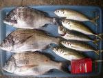 6月13日 ダゴチン釣りで木村さん チヌ35㎝~28㎝を3匹 アジ25㎝~22㎝を5匹