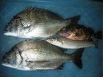 8月31日 磯釣りで戸高さん メイタ31㎝前後2匹 ガラカブ・キス