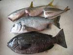 7月13日 ダゴチン釣りで髙浪さん クロ30㎝ メイタ28㎝ アジ 3匹
