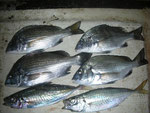 8月3日 ダゴチン釣りで中山さん メイタ28㎝を頭に4匹 アジ25㎝を2匹