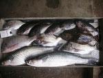 7月27日 ダゴチン釣りで北原さん ボラ60㎝・55㎝ キビレ40.5㎝ チヌ36㎝を頭に3匹 ヒラメ36戦にt クロ26㎝~24㎝5匹。