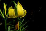 Lilium Pyrenaicum. © Fernando Cartagena.