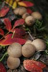 Lycoperdon Perlatum. © Manuel Hayas Arcos.