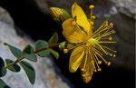 Hypericum Nummularium. © Fernando Cartagena.