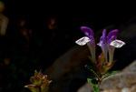 Scutellaria Alpina. © Fernando Cartagena.