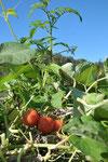 しみじみと実り続けるトマト。ふるさとのアンデスに似た涼しさと乾燥。