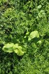 ヘアリーベッチ(マメ科の緑肥)の中で春を待つゴボウ