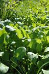 立川でずうっと種取りを続けてきた小松菜。昔ながらの葉の形です。