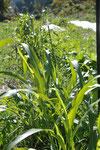 刈っても刈っても生えてくるソルゴー。緑肥に最高です