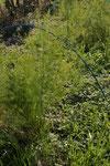 アスパラガス。ユリ科の多年草なので本格的な収穫は来年から。