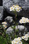 Achillea erba-rotta  subsp. moschata ( Moschus-Schafgarbe)