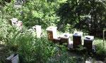 meine Bienen stehen ausschliesslich an ungespritzen Obstbäumen,  Wildsträuchern und -Bäumen, Wiesen und in Waldnähe.