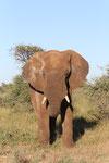 und wieder ein naher Elefant