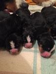 Onorine, 9 chiots nés le 23 janvier