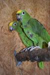 Gelbscheitelamazonenpaar Kira und Kiwi