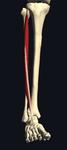 長趾伸筋 前側から