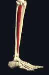 長趾伸筋 外側から
