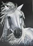 Camarguepferd auf Fotokarton.