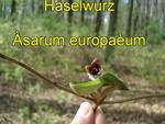 Haselwurz (Asarum europaeum)