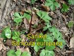 Sanikel (Sanicula europaea)