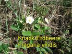 Knack Erdbeere (Fragaria viridis)
