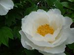 我家の庭に咲く白牡丹(千葉)