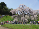 三春の桜、樹齢1000年(福島)、大勢な人が押しかけ喜んでいる。平成24年4月29日