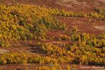 Bergbirkenwald / Fjellbjørkeskog