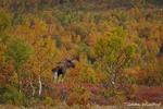 Elchbulle im Birkenwald / Elgokse i bjørkeskog