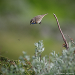 Blaukehlchen stürzt sich auf ein Insekt / Blåstrupe stuper etter et insekt